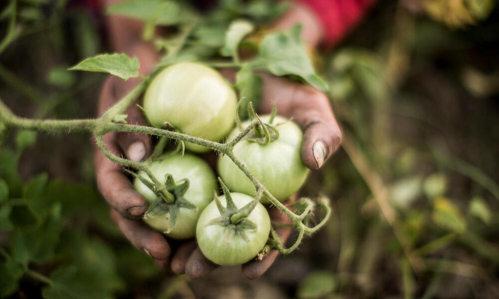 A close up of someone holding a handful of green tomatoes on the vine