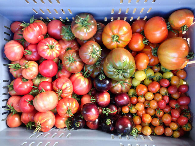 A crate of colorful imperfect heirloom tomatoes of varying sizes
