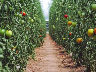 Two rows of tomato plants