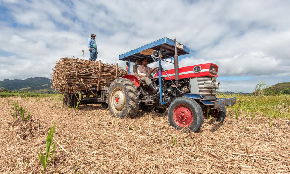 A man stands on the back of a blue tractor that's hauling harvested sugarcane