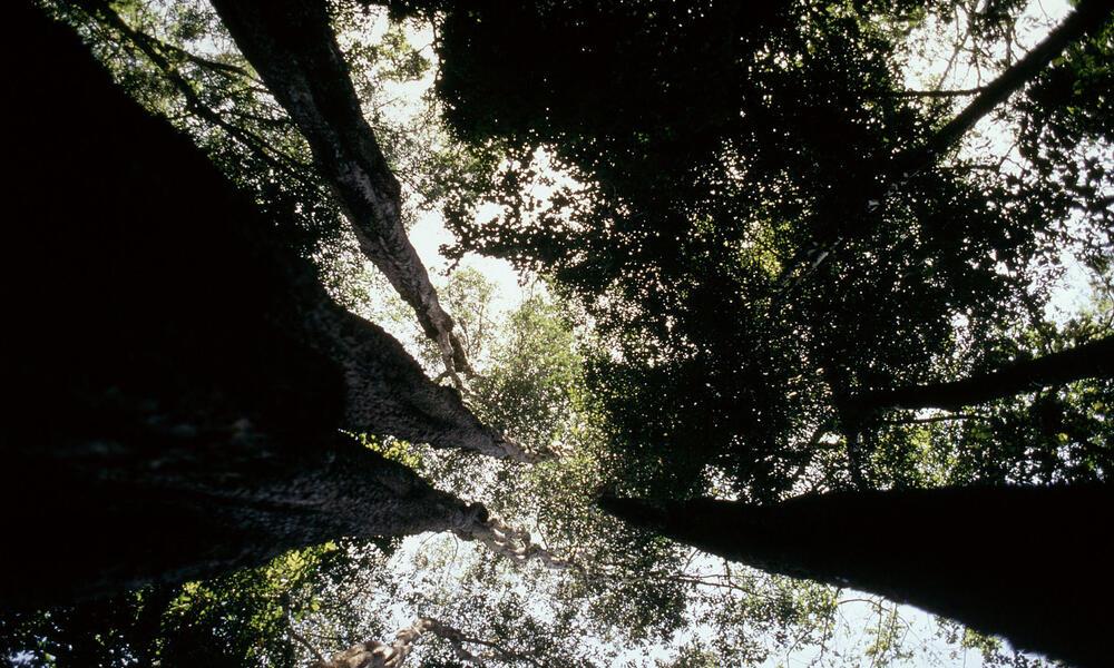 trees in the Cerrado