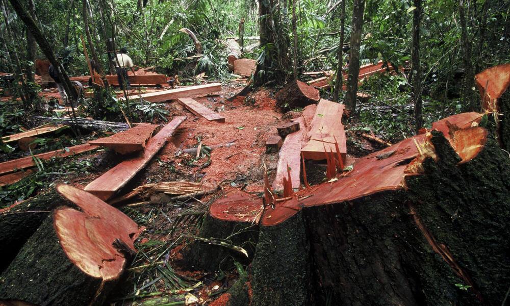 Illegal Logging Peru Tree Stumps in Forest