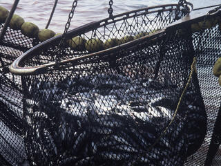 Overfishing, tuna