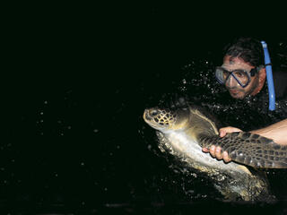 turtle tagging in colombia