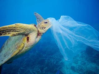 A turtle swims toward a plastic bag
