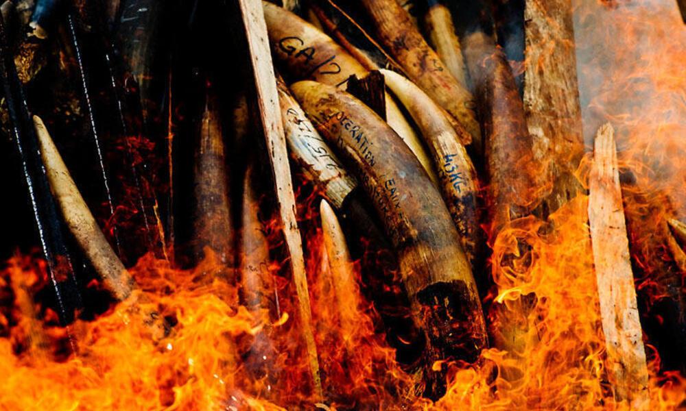 burning elephant tusks