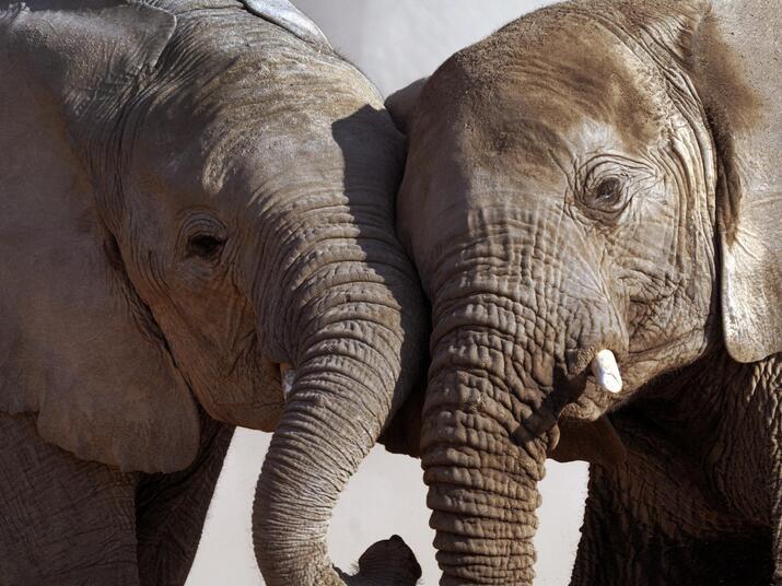 elephants stand close together