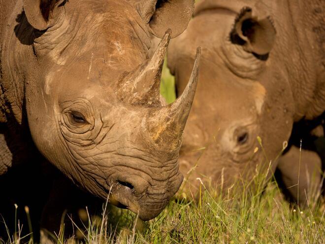 Black Rhinoceros (Diceros bicornis), Kenya.