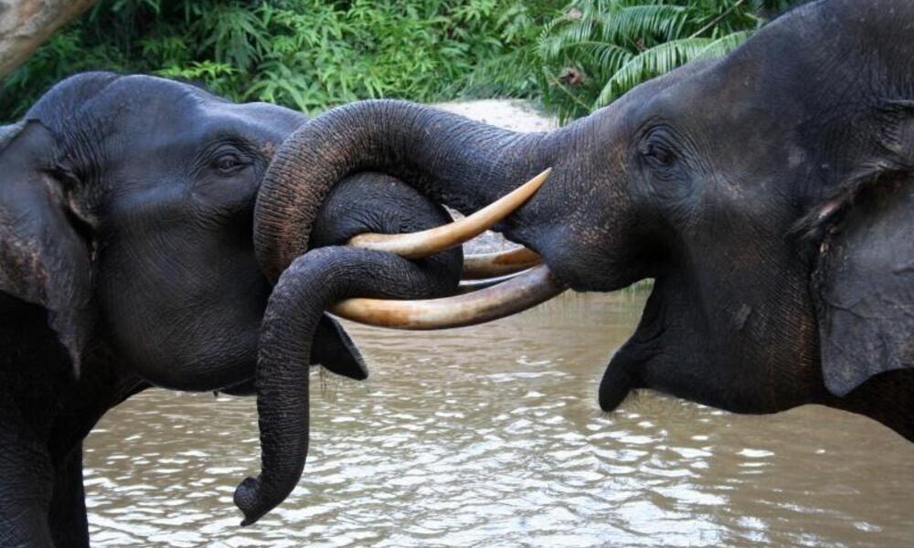 Two Sumatran elephant in Tesso Nilo National Park, Riau, Indonesia