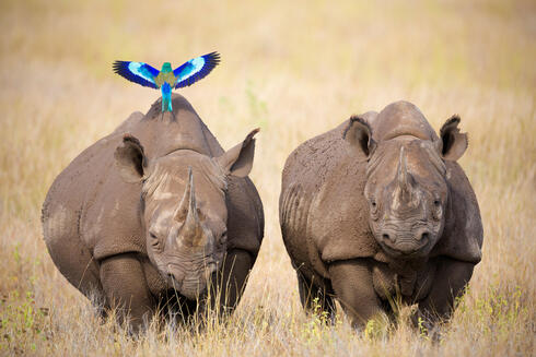 Two Black Rhinoceros and Lilac-breasted Roller