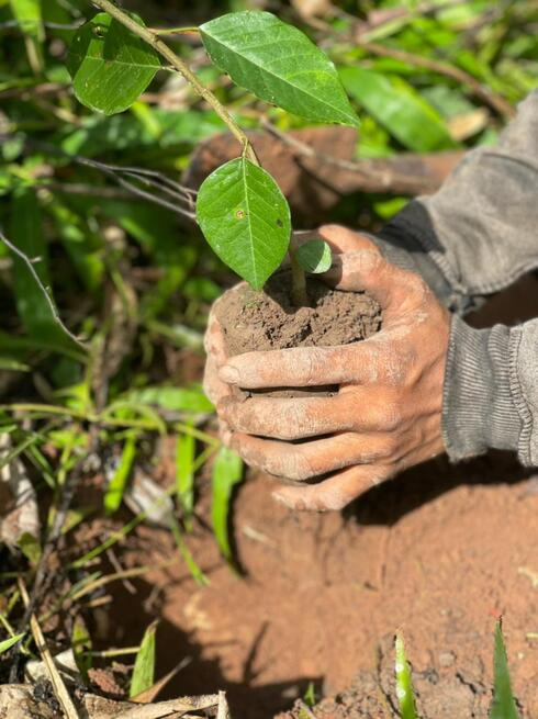 Two hands plant a seedling in Laos