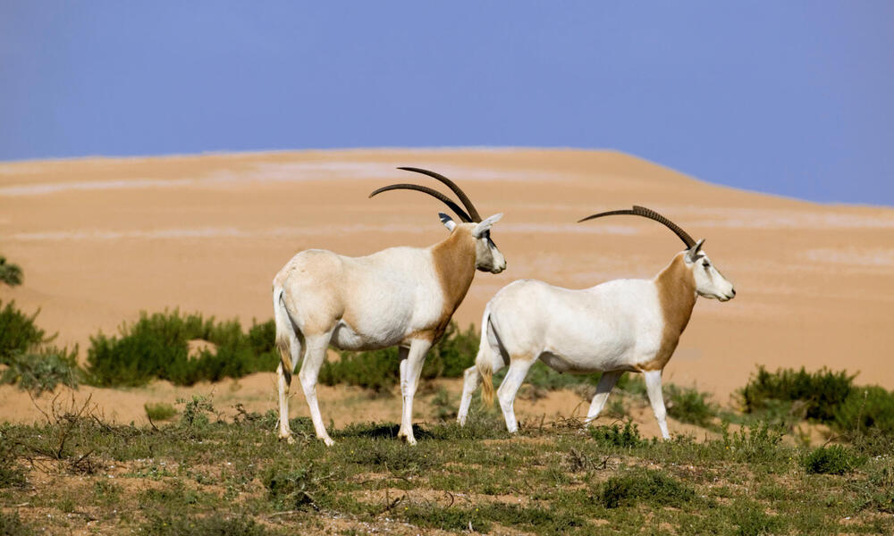 Two scimitar-horned oryxes, which are extinct in the wild