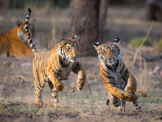 Two tiger cubs play together