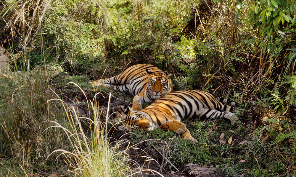 Two tigers (Panthera tigris) lying on the grass, India.
