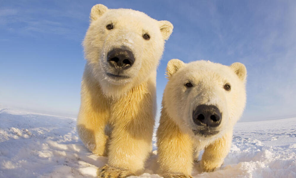 Two curious young Polar bears