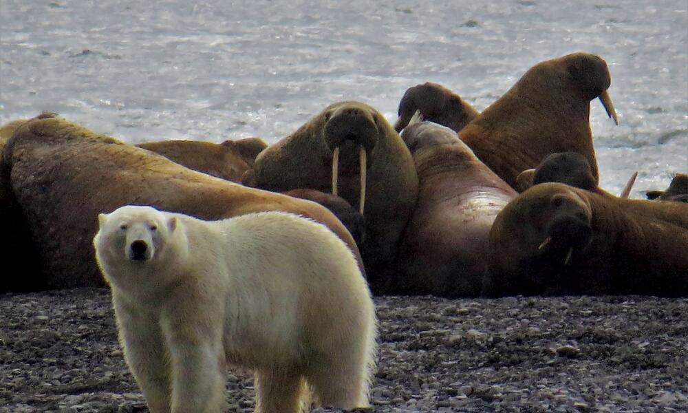 Polar Bear and Walrus