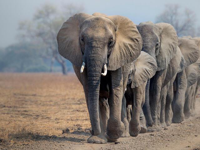 A herd of African elephants (Loxodonta africana) walking in line