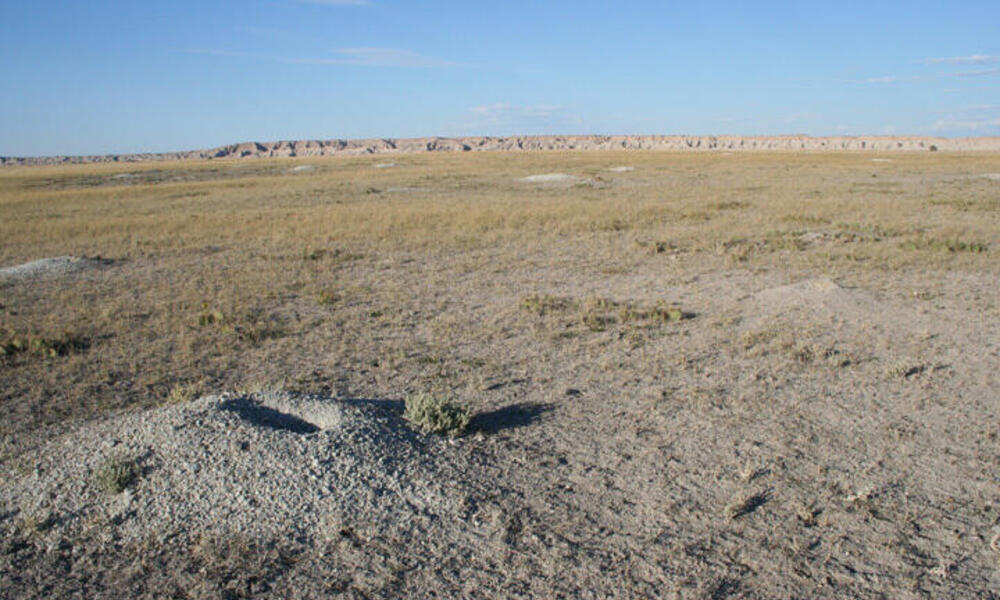 Prairie dog holes in the Canata Basin. This area is the only strong hold for black-footed ferrets. South Dakota, Northern Great Plains, United States 2004