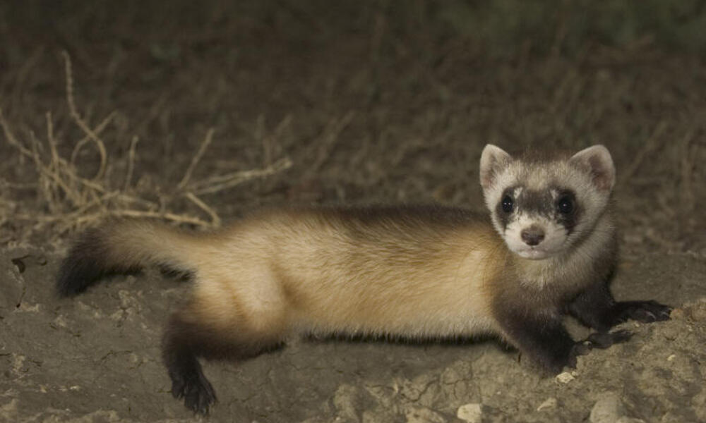 Black-footed ferret (Mustela nigripes) at night. This is the most endangered animal in North America. Montana, Northern Great Plains, United States