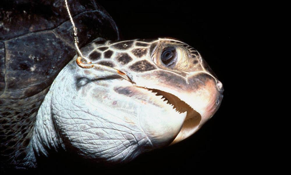 Hawksbill turtle hooked on long line (Eretmochelys imbricata) Cocos Island, Costa Rica, Pacific Ocean