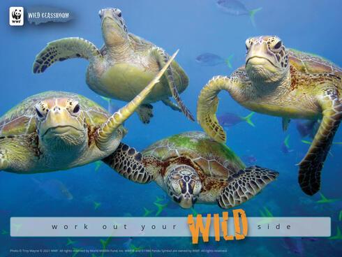 Sea turtles in great barrier reef