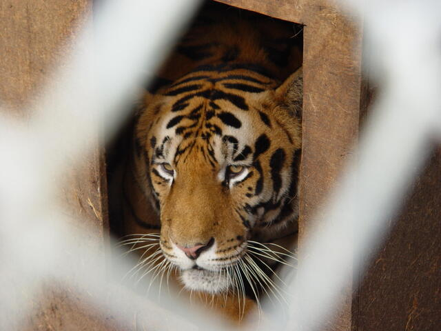 Caged tiger, Indiana, United States