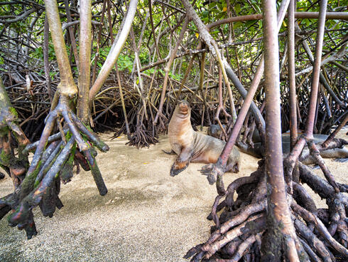 Galápagos sea lion (Zalophus wollebaeki) in the mangroves in Baronesa Bay, Floreana Island, Galapagos, Ecuador
