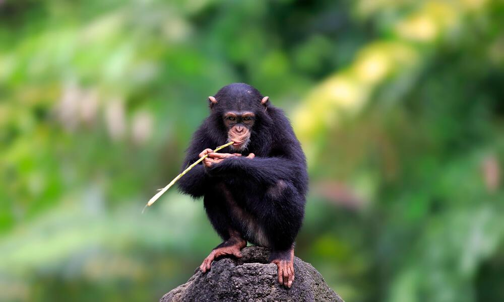 WWF Uganda Ape Expedition Chimp