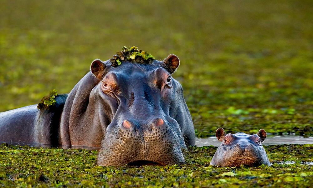 WWF Uganda Ape Expedition Hippo