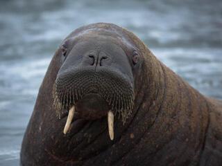 walrus in laptev