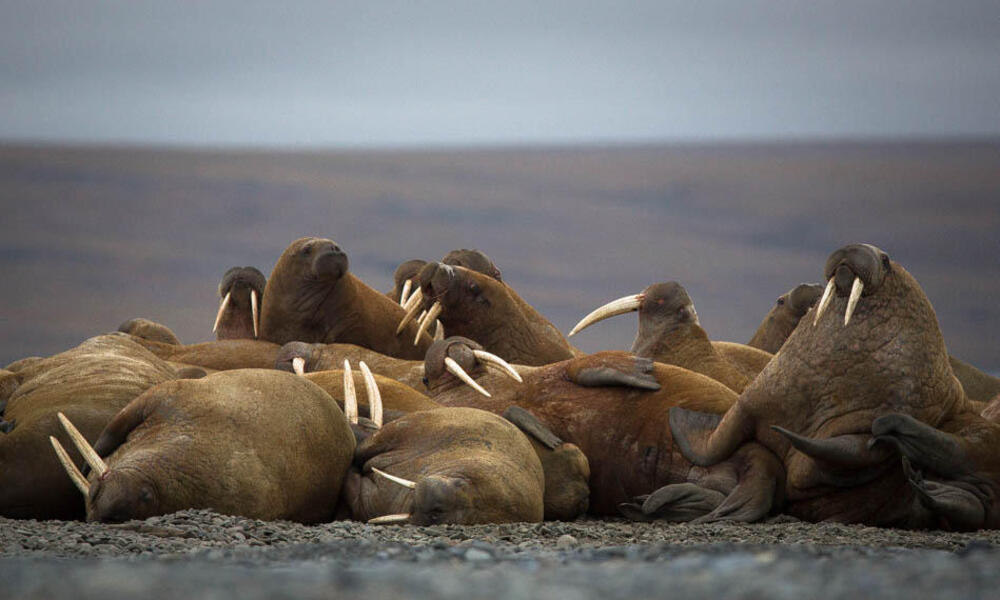 group of walruses
