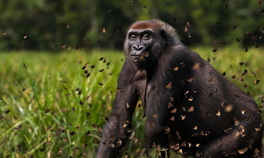 Western lowland gorilla (Gorilla gorilla gorilla) female 'Malui' walking through a cloud of butterflies she has disturbed in Bai Hokou, Dzanga Sangha Special Dense Forest Reserve, Central African Republic.