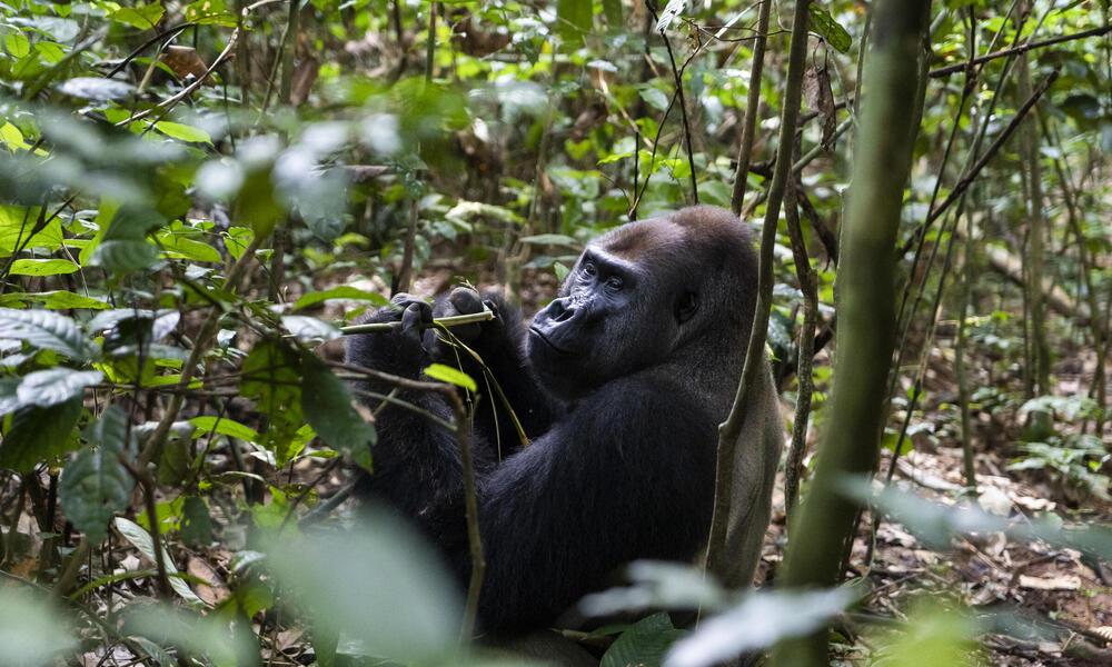 Western lowland gorilla silverback