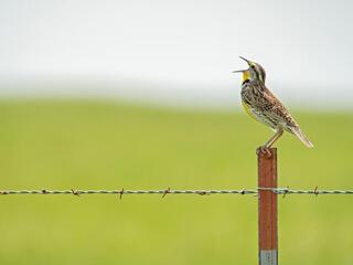 A brown and yellow bird sits on top of a fencepost singing with its mouth open and head tilted up