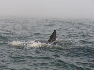 Baja Whale