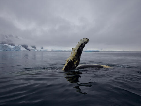 Humpback whale fin