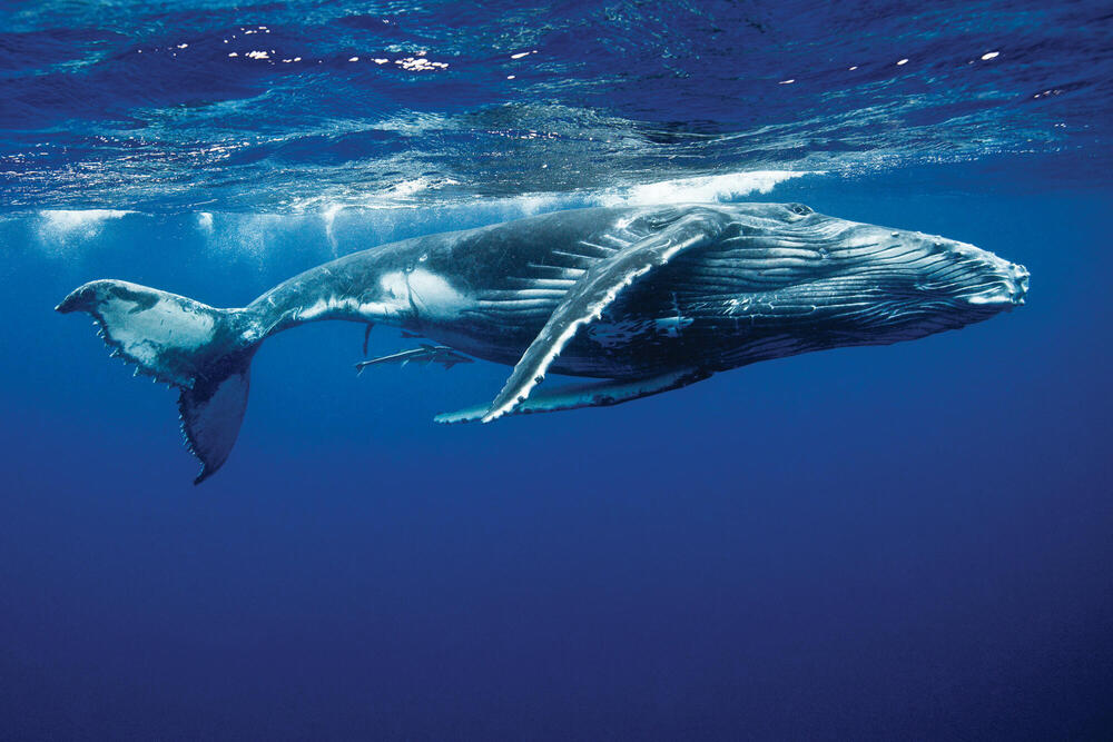 Humpback whale below surface