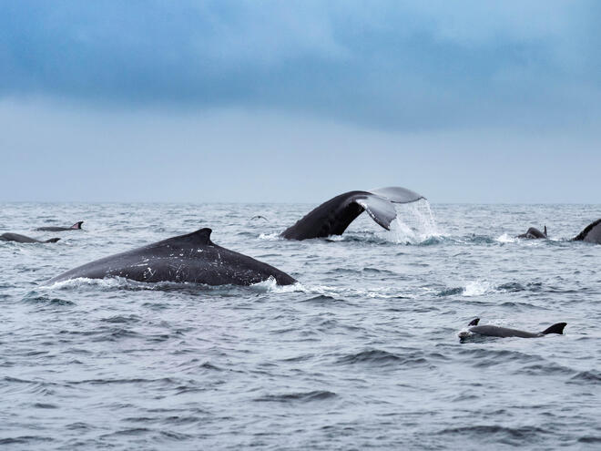 Whales and dolphins swimming in Isola de la Plata, Ecuador.