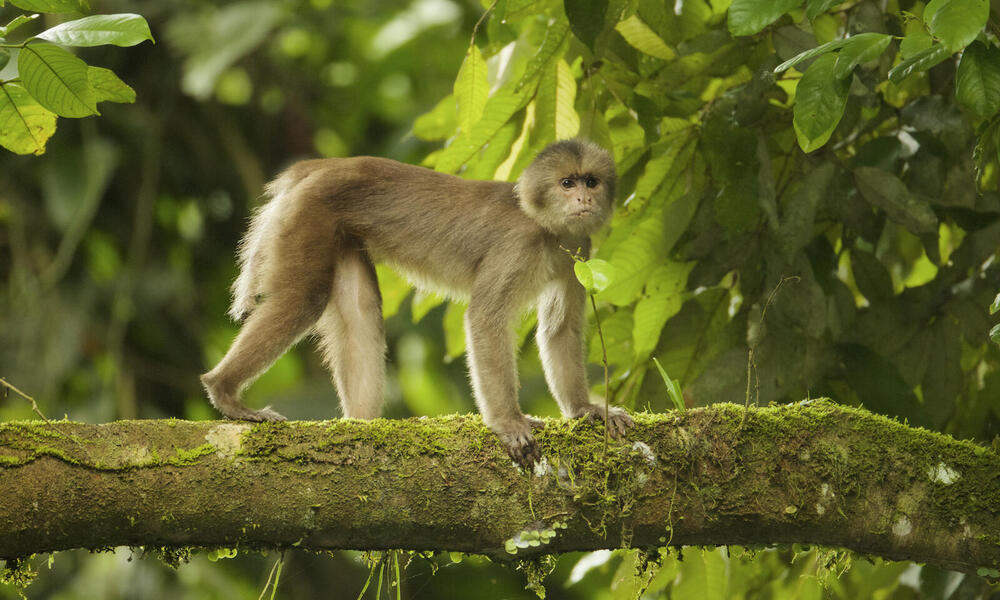 White-fronted Capuchin Monkey (Cebus albifrons) crossing tree