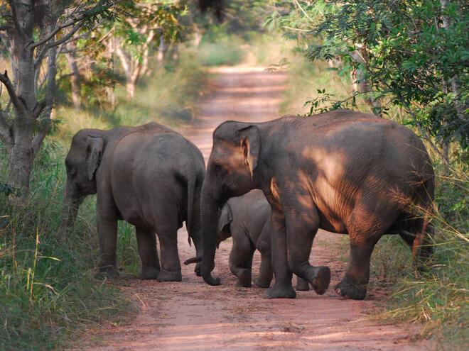 Wild asian elephants, Kui Buri National Park, Thailand