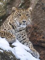 Snow Leopard Door Hanger Brochure