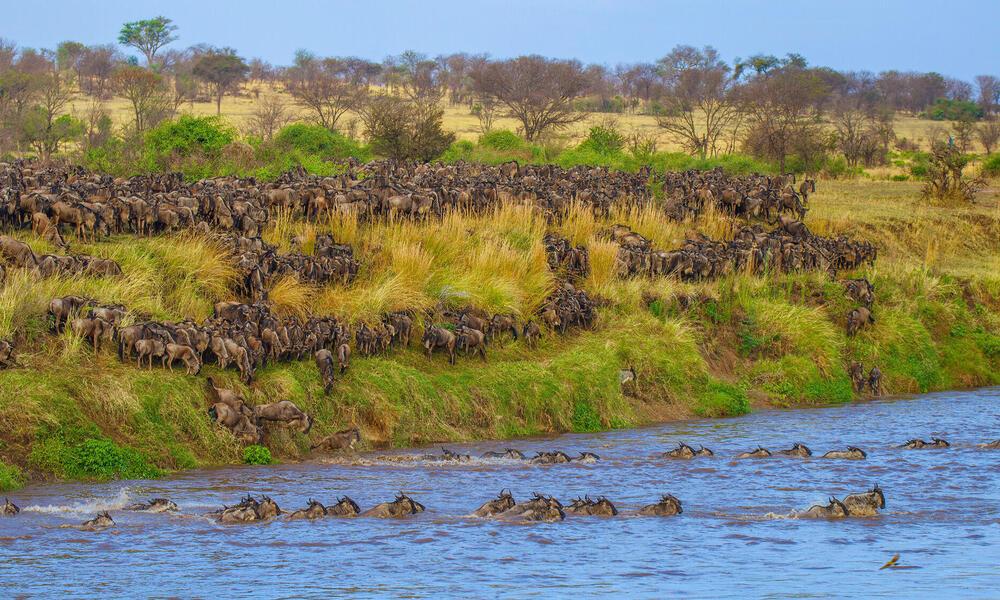 Wildebeest migration across river