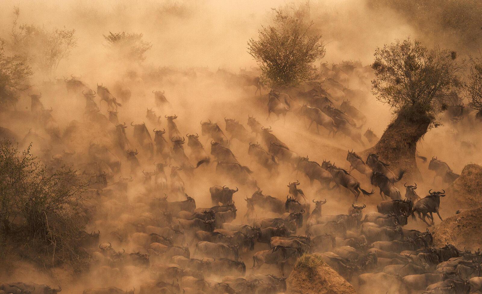Hundreds of wildebeest rushing across a river