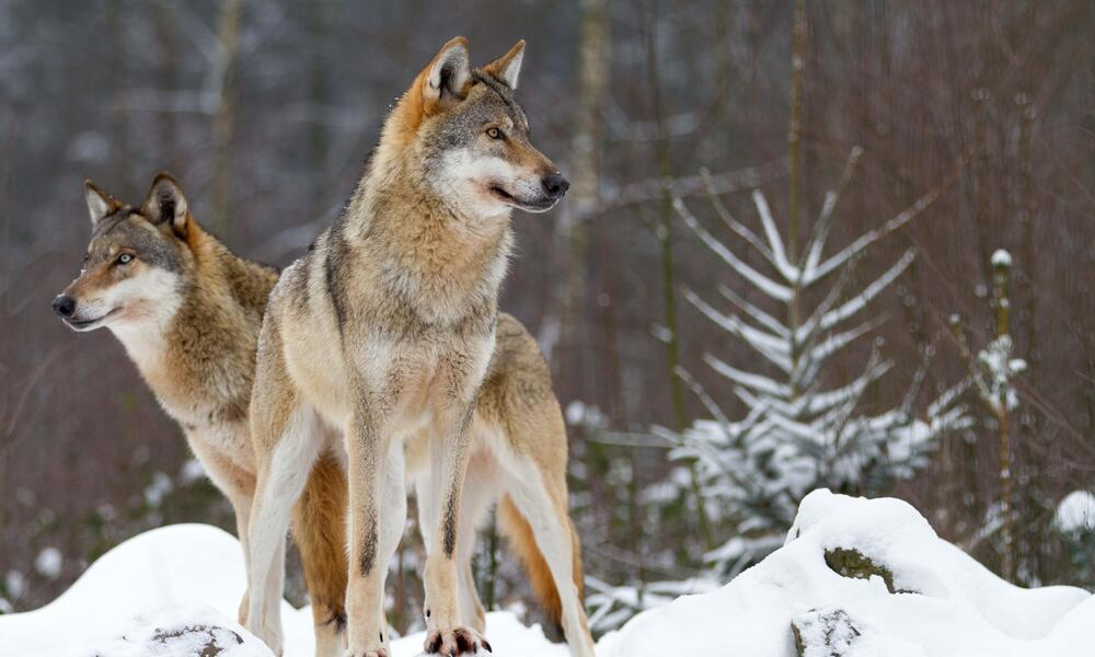 wolves on hill