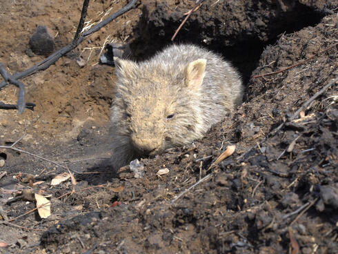 Wombat emerges from its den after bushfire and flooding