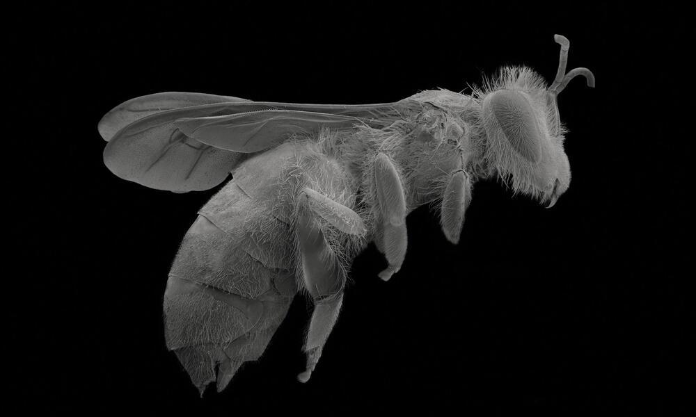 Worker bee, in flight