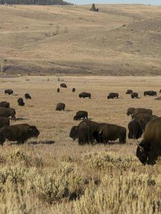 Bison Summer