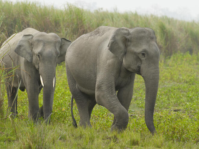 Two young Indian elephants