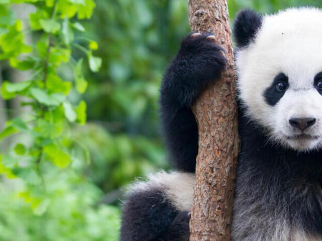 Young Panda climbing tree in China