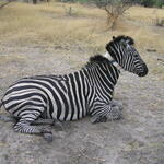 zebra collared